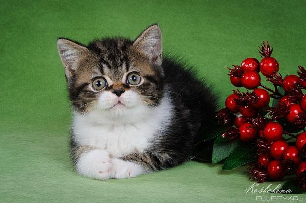 Шотландский котенок, котик скоттиш страйт, окрас черный мраморный с белым