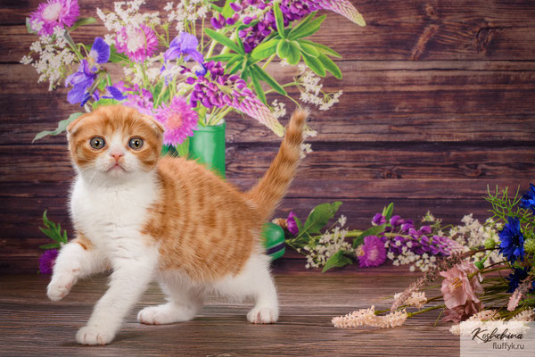 Шотландский котенок  кошечка  - скоттиш фолд, окрас красный пятнистый биколор (SFS d 03 24)