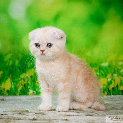 Шотландский  вислоухий котенок, кошечка Тая - скоттиш фолд окрас красный мраморный с серебристым подшерстком