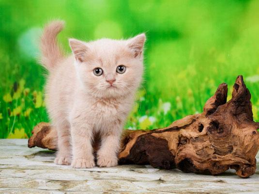 Шотландский  котенок кошечка Тесса - скоттиш страйт окрас кремовый