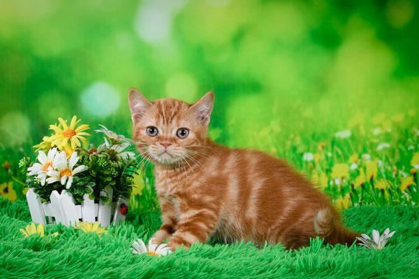 Шотландский короткошерстный котенок, котик Нострадамус, окрас красный мраморный
