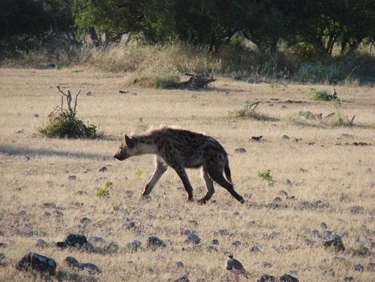 Im Etosa National Park ging es auf Safari, geführt aber auch selber kann man ohne Probleme durch den Park fahren