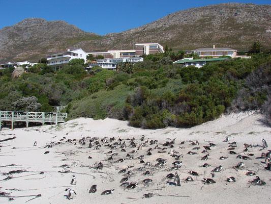 In Simon's Town wohnen auch Pinguine!