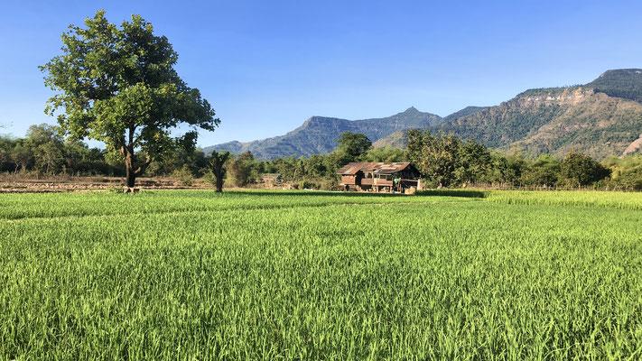 Biketour vor dem Frühstück durch die Reisfelder von Champasak