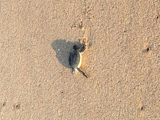 Mit Glück konnten wir am Morgen früh beobachten, wie 4 Baby Turtles den Weg ins Meer auf sich genommen haben. Unbeschreiblich schön!