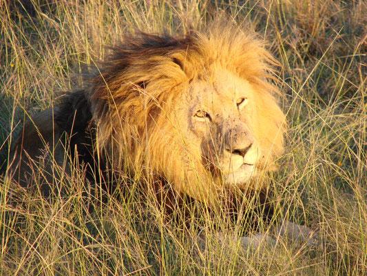 ... den König der Löwen