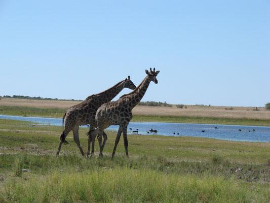 Schön gemächlich laufen diese Giraffen herum
