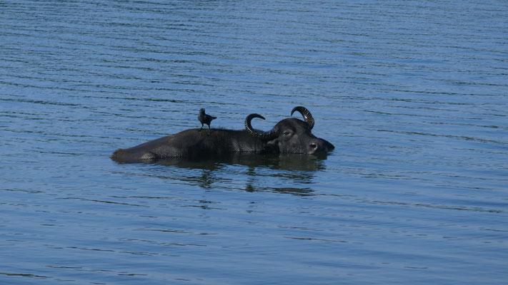 Wasserbüffel gibt es massenweise und speziell wird hier der Buffalo Curd zum Frühstück gegessen: Quark mit Honig, mhm!