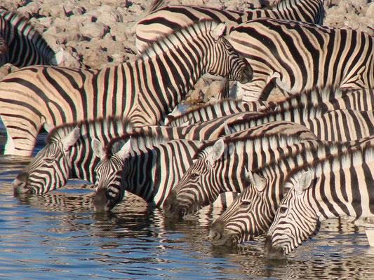 Wau, so viele Zebras!