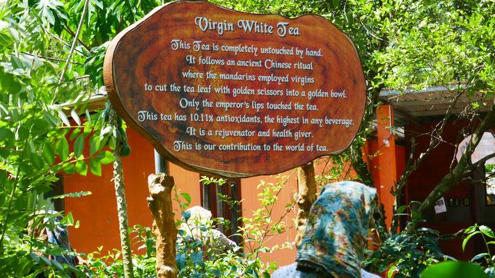 Auf der Virgin White Tea Plantage, diesmal nicht in den Bergen sondern im tiefen Land