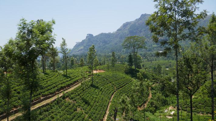 Tee-Plantagen in den Bergen