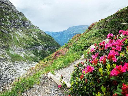 Alpenrosen Bäregg