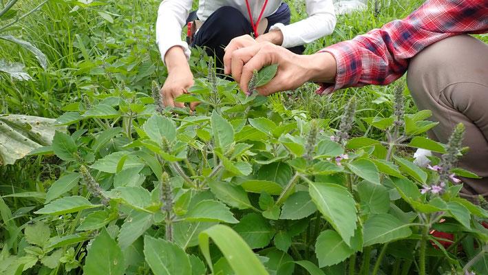 ホーリーバジル(カプアトゥルシー)は、摘むほどに背が伸びてきます。梅雨明けまで芳香な香りを漂わせてくれます。コロナで緊張の続く心身を優しく癒やしてくれる香り。