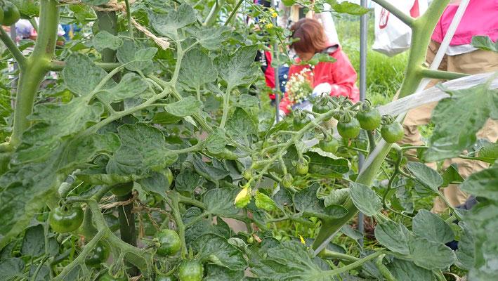 トマトの整枝も農学校では毎回やります。基本形をしっかり覚えて欲しいものです。
