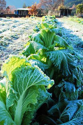 白菜も霜が数回降ってからが美味しい