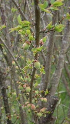 自然栽培の小梅、無肥料・無農薬で元気に育っています。冬に自然栽培の切り上げ剪定をしました。