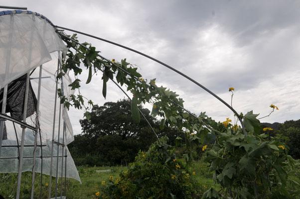 台風直後のヘチマ。ものすごく強いんです。大きな実がもげません.