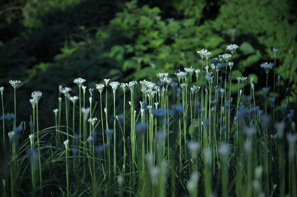 ニラの花。清楚で美味しい