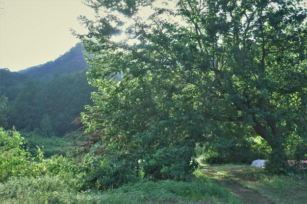 台風で傾いた桑の木。ここからジャムを作ります