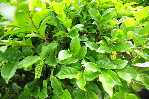 ぴぱーちの仲間。ぴぱーち(ナガコショウ)は、八重山の特産で宮古島では育っていないのですが、これは近縁種?
