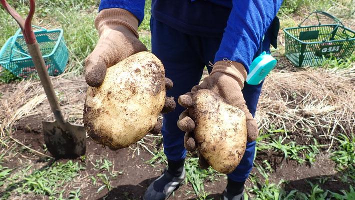 今年のキタアカリはでかい。いっさい肥料は使っていないのですが、種芋が少なくて挿し芽で作ったからでしょうか。
