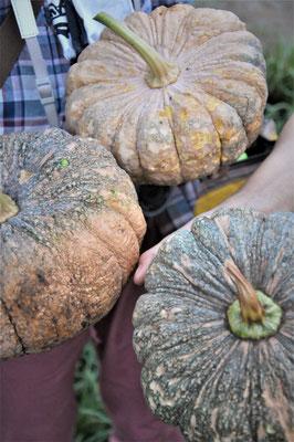在来かぼちゃの収穫でした。