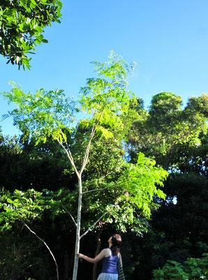 奇跡の樹と言われるモリンガは、様々なミネラルを含んでいます。フレッシュハーブは滅多にありません。お茶にすると香ばしい香り。
