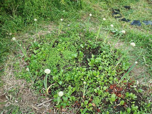 サークル上に植えた株ネギの内側にコマツナ、ニンジン、クローバーなどの種をおろしました。