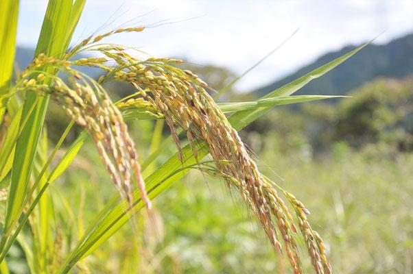 古代米、赤米です。
