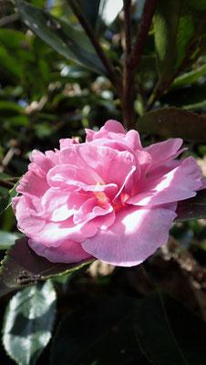 山茶花の花。焚火の季節の花。