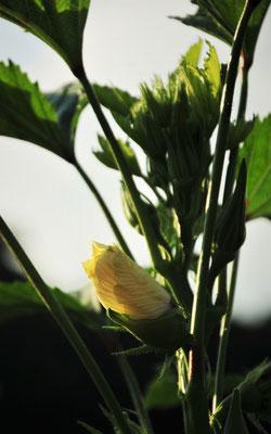 オクラの花。まだ10月までいけます。