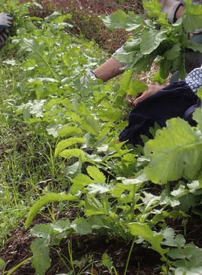 打木源助ダイコンの間引き。年内収穫の可愛いかが在来野菜です。