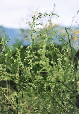 秋のヨモギ。種をつけ始めた今頃の薬効が高いそうです。煮だした汁をお風呂に入れると温まります、