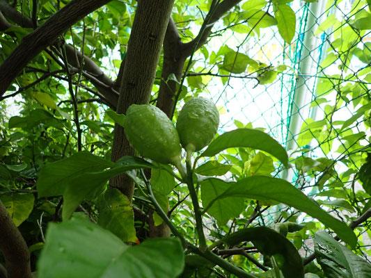レモンも大きな樹になっています。