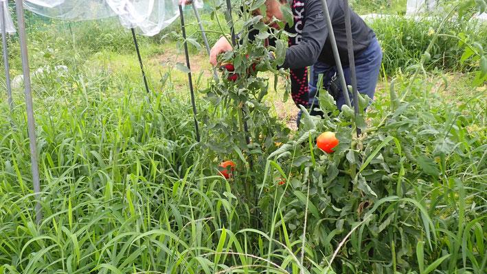 草生栽培の大玉トマト