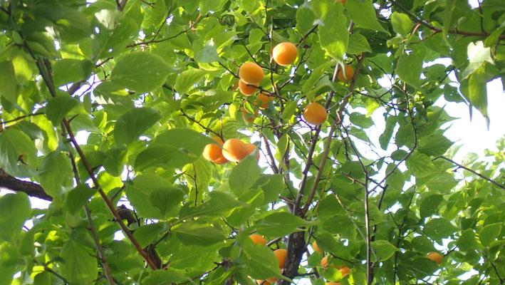 梅もしっかり熟してきました。プラムのような甘い香り。