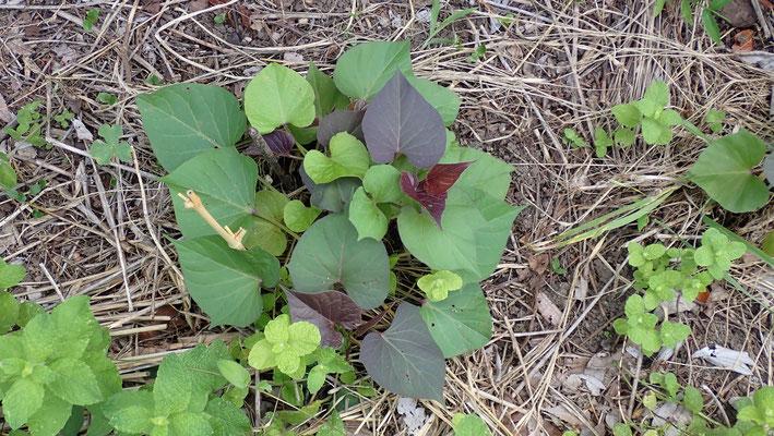 先月植えた安納イモの苗。元気です。