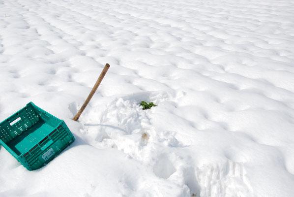 雪の下で甘くなったホウレンソウを掘り出す。