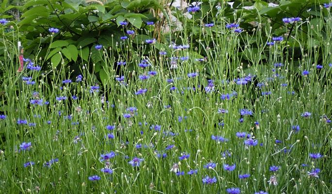 コーンフラワーが毎日咲き続けます。眼に良い成分、アントシアニンを含むお茶になります。