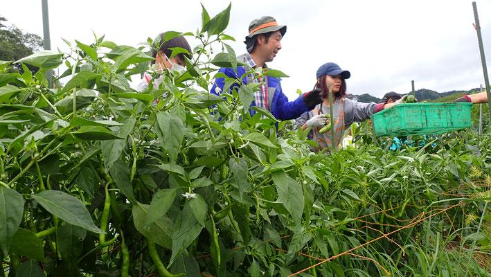 トウガラシ、ピーマン、パプリカと揃い踏みで収穫始まりました。
