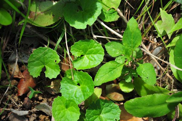 ゴッコラ(ツボクサ)。インドの伝統医学「アユルベーダ」の中で「アダプトゲン」として使われるハーブの筆頭。免疫を高めてくれます。