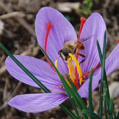 サフランは、ある日突然咲きだす、不思議な花です。花をハーブティーに。