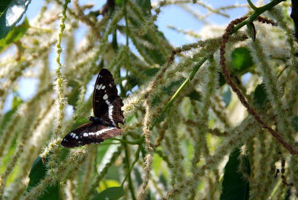 クリの花は蜜が多いので蝶が大好きです。