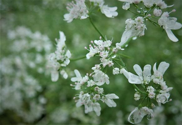 パクチーの花。