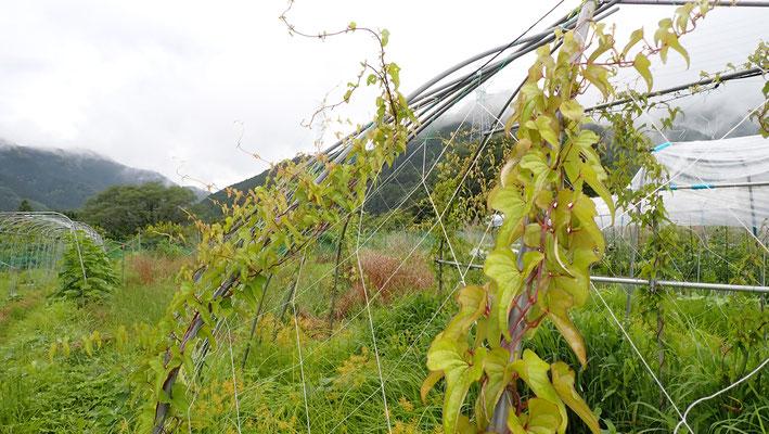 ヤマイモ。今年の秋は芋掘りがだいぶやりがいのあることでしょう。
