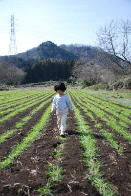 麦踏み。踏まれることで根の張りが強くなります。霜柱で浮き上がった根をしっかりさせる効果もあります。