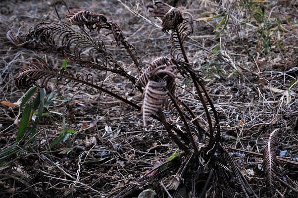 コゴミ(山菜)の枯れ葉はオブジェのよう。