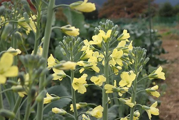 ブロッコリーの菜花。こんな時期に咲いてしまうものもあります。