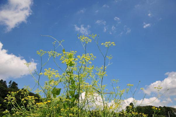 フェンネル。花から種に変わります。甘い香り。