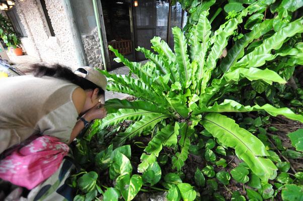 レストランの植栽にあったオオタニワタリの葉裏をルーペで観察する鷺島広子さん
